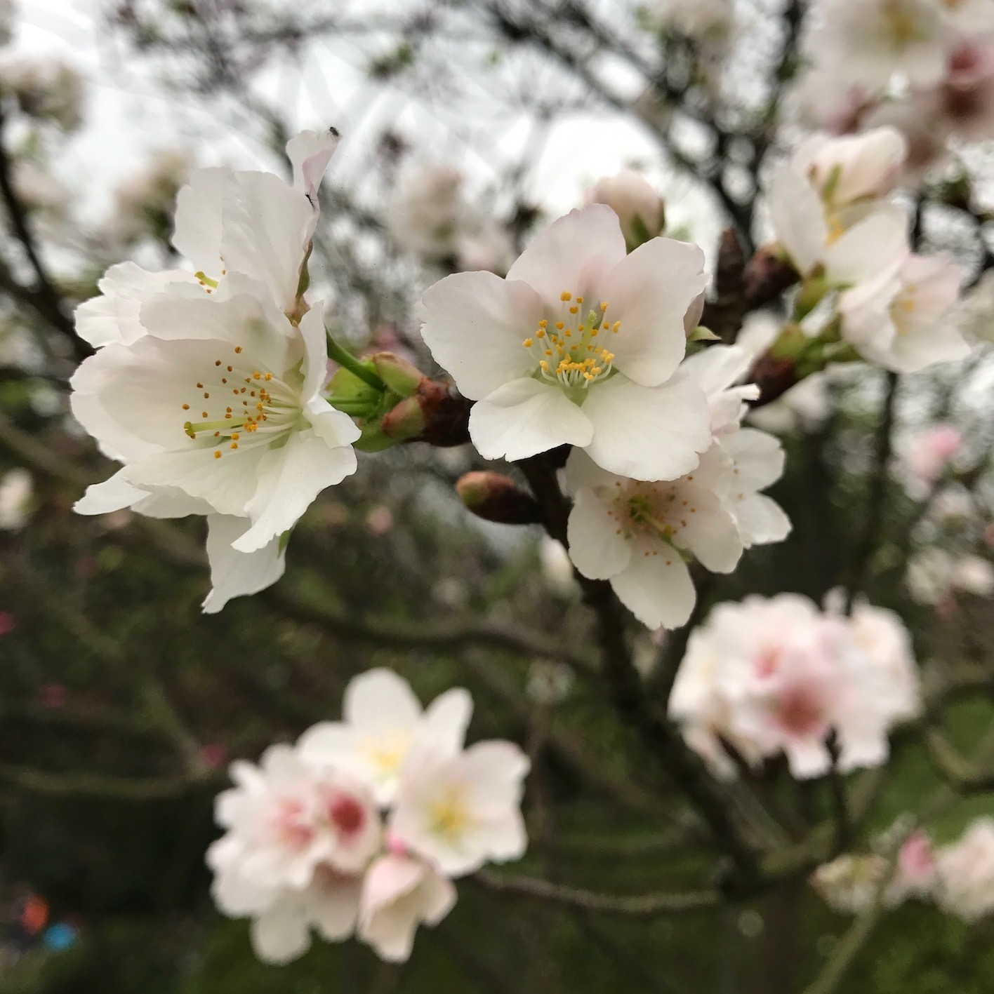 陽明山 櫻花季 花見 春之饗宴 視覺 味覺 饗宴